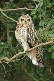 Short Eared Owl (Asio Flammeus) Perched in Ivy, Hunting, Essex, UK, January Photographic Print by Andy Rouse