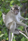 Crab Eating Macaque (Macaca Fascicularis) Juvenile Sitting Portrait, Indonesia Photographic Print by Mark Taylor