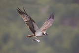 Osprey (Pandion Haliaeetus) in Flight, Fishing at Dawn, Rothiemurchus, Cairngorms Np, Scotland, UK Photographie par Peter Cairns