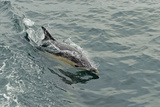 Common Dolphin (Delphinus Delphis) at Surface, Near South Uist, Outer Hebrides, Scotland, UK, June Photographic Print by Chris Gomersall