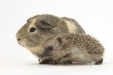 Baby Hedgehog (Erinaceus Europaeus) and Guinea Pig, Walking in Profile Photographic Print by Mark Taylor