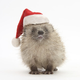 Baby Hedgehog (Erinaceus Europaeus) Wearing a Father Christmas Hat Photographic Print by Mark Taylor