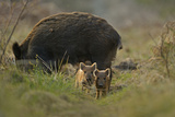 Wild Boar (Sus Scrofa) Female and Piglets in Forest, Forest of Dean, Gloucestershire, UK, March Lámina fotográfica por Andy Rouse