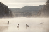 Mute Swan (Cygnus Olor) on Water in Winter Dawn Mist, Loch Insh, Cairngorms Np, Scotland, December Photographic Print by Peter Cairns