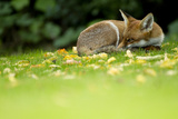 Red Fox (Vulpes Vulpes) Resting Amongst Autumn Leaves, Leicestershire, England, UK, September Photographic Print by Danny Green