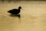 Avocet (Recurvirostra Avosetta) Silhouetted in Water at Sunrise, Brownsea Island, Dorset, UK Photographic Print by Bertie Gregory