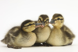 Three Mallard (Anas Platyrhynchos) Ducklings, 1 Week Old, Captive Photographic Print by Mark Taylor