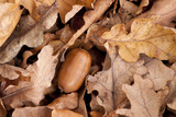 English Oak Tree Acorn and Fallen Leaves in Autumn, Beacon Hill Country Park, Leicestershire, UK Photographic Print by Ross Hoddinott