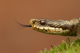 Adder (Vipera Berus) Basking in the Spring Sunshine Flicking Tongue, Staffordshire, England, UK Photographic Print by Danny Green