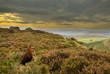 Red Grouse (Lagopus Lagopus Scoticus) on Heather Moorland, Peak District Np, UK, September 2011 Photographie par Ben Hall