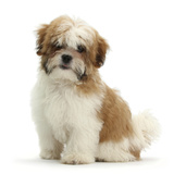 Maltese Cross Shih-Tzu Pup, Leo, 13 Weeks Old, Sitting Photographic Print by Mark Taylor