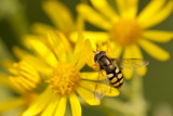Hoverfly (Syrphus Ribesii) Feeding on Common Ragwort (Senecio Jacobaea) Flower, Dorset, UK, August Photographic Print by Ross Hoddinott