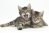 Cute Tabby Kittens, Stanley and Fosset, 9 Weeks Old, Lounging Together Photographic Print by Mark Taylor
