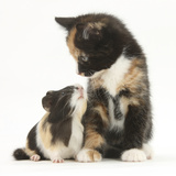 Tortoiseshell Kitten with Baby Tortoiseshell Guinea Pig Looking at Each Other Photographic Print by Mark Taylor