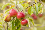 Apples (Malus Domestica) Growing in Traditional Orchard at Cotehele Nt Property, Cornwall, UK Photographic Print by Ross Hoddinott