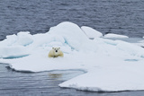 Adult Polar Bear (Ursus Maritimus) on the Ice Near Moffen Island Photographic Print by Michael Nolan