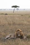 Lion (Panthera Leo), Masai Mara National Reserve, Kenya, East Africa, Africa Fotografie-Druck von Ann and Steve Toon