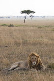 Lion (Panthera Leo), Masai Mara National Reserve, Kenya, East Africa, Africa Photographic Print by Ann and Steve Toon