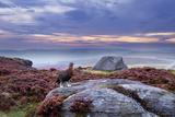 Red Grouse (Lagopus Lagopus Scoticus) on Heather Moorland, Peak District Np, UK Photographie par Ben Hall