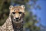 Cheetah Against Blue Sky, Amani Lodge, Near Windhoek, Namibia, Africa Photographic Print by Lee Frost