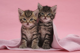 Tabby Kittens, Stanley and Fosset, 6 Weeks, under a Pink Scarf Photographic Print by Mark Taylor