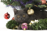 Grey Kitten with Christmas Decorations under a Christmas Tree Photographic Print by Mark Taylor