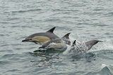 Common Dolphins (Delphinus Delphis) Breaching, Near South Uist, Outer Hebrides, Scotland, UK, June Photographic Print by Chris Gomersall
