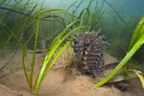 Yellow - Spiny Seahorse Female Sheltering in Meadow of Common Eelgrass, Studland Bay, Dorset, UK Photographic Print by Alex Mustard