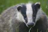 Badger (Meles Meles) Cub, Dorset, England, UK, July Photographic Print by Bertie Gregory