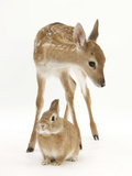 Fallow Deer (Dama Dama) Portrait of Fawn Standing over a Sandy Netherland-Cross Rabbit Photographic Print by Mark Taylor