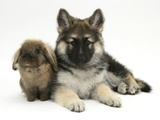 German Shepherd Dog (Alsatian) Bitch Puppy, Echo, with Lionhead Rabbit Photographic Print by Mark Taylor