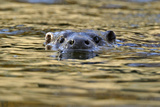 European River Otter (Lutra Lutra) Swimming with Head Stickig Above Water, River, Dorset, UK Photographic Print by Andy Rouse