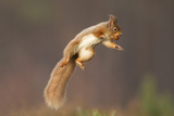 Red Squirrel (Sciurus Vulgaris) Jumping, with Nut in its Mouth, Cairngorms Np, Scotland, UK, March Photographic Print by Peter Cairns