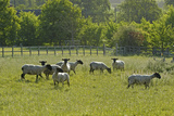 Flock of Newly Clipped Domesitc Sheep Grazing in Pasture at Rspb's Hope Farm, Cambridgeshire, UK Photographic Print by Chris Gomersall