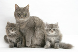 Maine Coon Mother Cat, Serafin, and Two 7-Week- Kittens Photographic Print by Mark Taylor