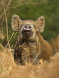 Wild Boar (Sus Scrofa) Female in Woodland Sniffling Air, Forest of Dean, Gloucestershire, UK Photographic Print by Andy Rouse