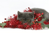 Grey Kitten with Christmas Decorations, Tinsel and Holly Berries Photographic Print by Mark Taylor