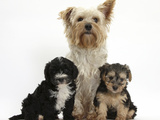 Yorkshire Terrier Mother, Evie, and Yorkipoo Pups, 7 Weeks Old Lámina fotográfica por Mark Taylor