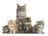 Mother Maine Coon Cat, Serafin, and Five Kittens, 7 Weeks Photographic Print by Mark Taylor