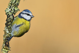 Blue Tit (Cyanistes - Parus Caeruleus) Perched on Lichen-Covered Twig. Wales, UK, February Photographic Print by Andy Rouse