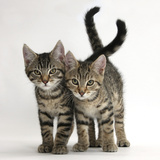 Tabby Kittens, Stanley and Fosset, 12 Weeks Old, Walking Together Photographic Print by Mark Taylor