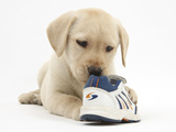 Yellow Labrador Retriever Puppy, 8 Weeks, Chewing a Child's Shoe Photographic Print by Mark Taylor