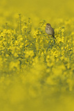 Corn Bunting (Milaria Calandra) Perched in Field of Oilseed Rape, Hertfordshire, England, UK, April Photographic Print by Chris Gomersall