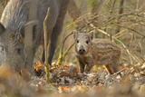 Wild Boar (Sus Scrofa) Piglet and Mother in Forest, Forest of Dean, Gloucestershire, UK, March Fotografie-Druck von Andy Rouse