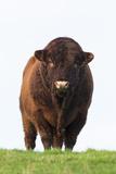 Bull in Farmer's Field, Islay, Scotland, United Kingdom, Europe Photographic Print by Ann and Steve Toon