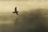 Common Sandpiper (Actitis Hypoleucos) Adult in Flight over Loch at Dawn.Cairngorms Np, Scotland, UK Reproduction photographique par Mark Hamblin