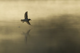 Common Sandpiper (Actitis Hypoleucos) Adult in Flight over Loch at Dawn.Cairngorms Np, Scotland, UK Photographic Print by Mark Hamblin