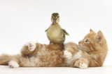 Ginger Kitten Lying on its Back with a Mallard Duckling Walking over It Photographic Print by Mark Taylor