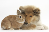 Rough Collie Puppy, 14 Weeks, with Sandy Netherland Dwarf-Cross Rabbit Photographic Print by Mark Taylor