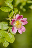 Dog Rose {Rosa Canina} Flowering in Healthy Hedgerow, Denmark Farm, Lampeter, Wales, UK. June Photographic Print by Ross Hoddinott